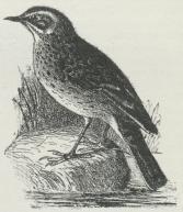 Engpiber (Anthus pratensis).