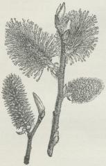Fig. 2. Selje-Pil. Til højre Gren<bmed Hanrakler. Til venstre Gren<bmed en Hunrakle.