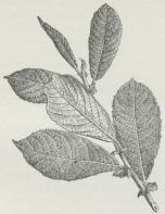 Fig. 3. Gren af Øret Pil.