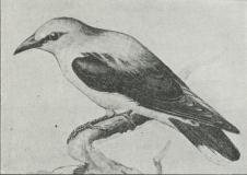 Guldpirol (Oriolus galbula).