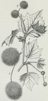 Platanus orientalis.<b1. Foroven Hunblomsterstande;<bforneden til højre<bHanblomsterstande. 2. Frugtstande.