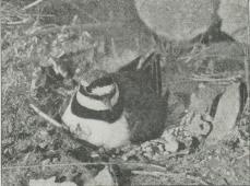 Stor Præstekrave paa Reden (Ægialitis hiaticula).