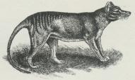 Pungulv (Thylacinus cynocephalus).