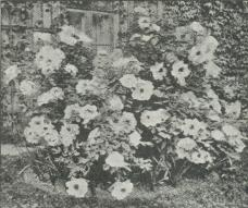 Fig. 1. Pæonia arborea.