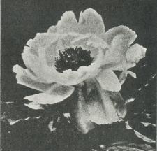 Fig. 2. Japansk Pæon.