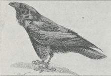 Fig. 1. Ravn (Corvus corax).