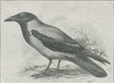 Fig. 2. Krage (Corvus cornix).
