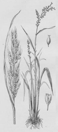 Ris (Oryza sativa).