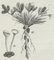 Kløverens Knoldbægersvamp, a Rødkløver med<bSklerotier paa Roden, c et Sklerotie med to Bægre.