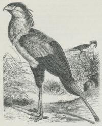 Sekretær (Gypogeranus serpentarius).
