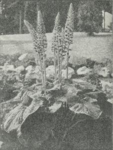 Senicio Wilsonianus.