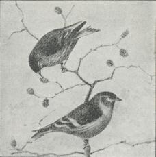 Grønsisken (Chrysomitris spinus).