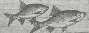 Rudskalle (Scardinius erythrophthalmus) og Graaskalle (Leuciscus<brutilus). (Se tillige farvetrykt Tavle »Fisk« [Ferskvandsfisk], Fig. 2.)