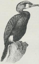 Skarv (Phalacrocorax Carbo).