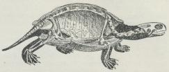 Skelet og Omrids af Sumpskildpadde; af Skjoldet er<bomtrent den ene Halvdel bortsavet.