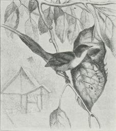 Skrædderfugl (Orthotomus sutorius).