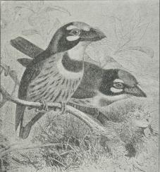 Skægfugle.