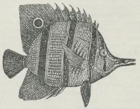 Skælfinnefisk (Chelmo).