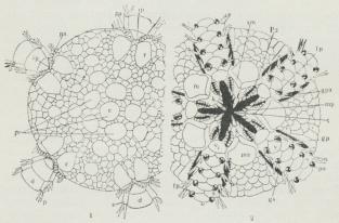 Fig. 2. Skive af Ophiura fra Over- og Undersiden (2 forsk. Arter)<bd Armrygplader, fp Fodpapiller, gs Kønsspalte, k Kæber, n<bMundskjold, ma Madreporplade, mp Mundpapiller, p Armpigge, pa<bPapilkam, po Fodpore, p1 2den Fodpore, r Radialskjold, s Armsideplade,<bsm Sidemundskjolde, t Tænder, v Armbugplader.