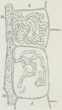 Fig. 3. En Hyfe (m) af en<bPeronospora, der snylter<bi Marven af Stængelen<baf Skovmærke (Asperula<bodorata) og forløbende<bmellem Cellerne (z)<bsender grenede Haustorier<bind i disse. (Stærkt<bforstørret).