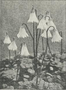 Soldanella (pusilla alba).