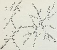 Fig. 1. Sporernes Spiring (A, B, C) og Myceliets<bvidere Udvikling (D, E, F) hos Penselskimmel. (Forstørr.).