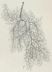 Fig. 2. Mucor mucedo. Udvokset Mycelie. a Spore<bb Sporebærer med Sporangie. (Forstørr.).