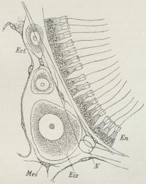 Fig. 6. Snit gennem en Kalksvamp (Sycandra).<bEct Yderlag, En Inderlag med Kraveceller, Mes<bMellemlag, N Kalknaal i dette, Eiz Ægcelle.