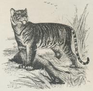 Tiger (Felis tigris).
