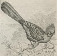 Hjelmturako (Turacus corythaix).