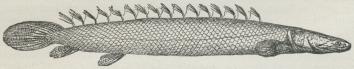 Fig. 1. Bichir.