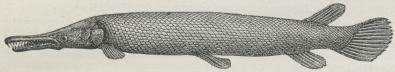 Fig. 2. Pansergedde.