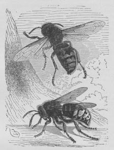 Fig. 1. Den store Gedehams (Vespa crabro).