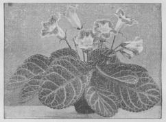 Gloxinia hybrida.