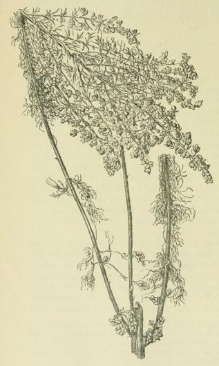 Fig. 1. Artemisia maritima L. var. suflruticosa <span class=
