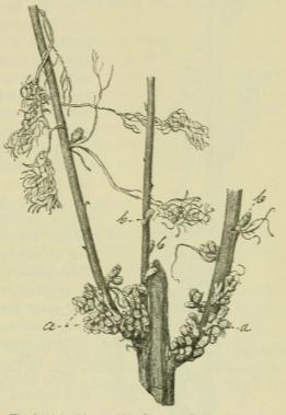 Fig. 2. Artemisia maritima L. var. suffruticosa <span class=