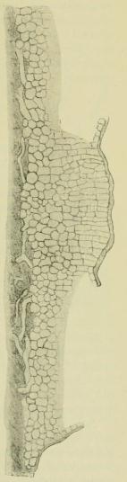 Fig. 2. Discosia Artocreas.<bVertikaler Durchschnitt<beiner Pyknide, die<bMittelsäule zeigend. <su<smal600</smal</su/<su<smal1</smal</su.