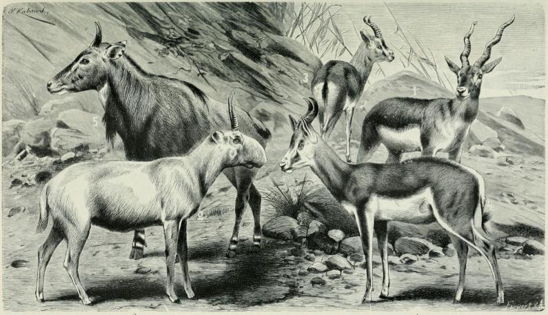 1. Sassi (Antilope cervicapra). — 2. Saiga-antilooppi (Saïga tatarica). — 3. Gaselli (Gazella dorcas). — 4. Hyppyantilooppi (Antidorcas Euphore).<b— 5. Nilgai (Portax pictus).